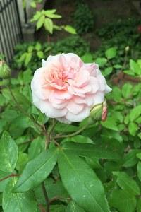 Roses starting to bloom
