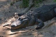 Queens Zoo - Alligators