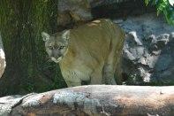 Queens Zoo - Puma