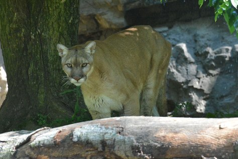 wp_queenszoo_puma